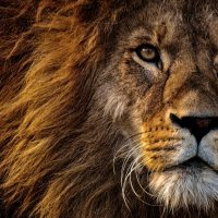 close-up-photo-of-lion-s-head-2220336